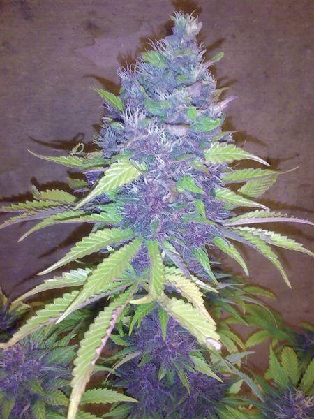 Blueberry x AK47 AF FEMI GGS
